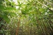 Tree Ferns (Cyatheales), temperate rainforest, UNESCO World Natural Heritage Site, Fraser Island, Great Sandy National Park, Queensland, Australia