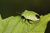 Green Shield bug (Palomena prasina), imago
