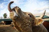 Portrait of Charolais Cow tongue out France