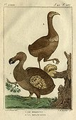 Illustration of Dodo and Rodrigues Solitaire ; Dodo: Endemic to Mauritius flightless extinct in the seventeenth century<br>Solitaire: species endemic flightless extinct Rodrigues Island in 1700