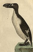 Illustration of Great Auk ; Wingless species observed for the last time in the wild in 1844 (a couple was killed that year off Iceland)