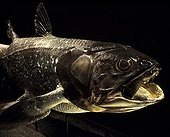 Coelacanth naturalized Museum Paris France