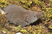 Shrew on moss France