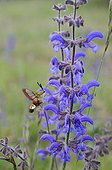 Moth gathering nectar from Sage flower France