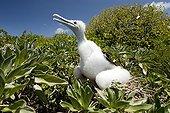 Chick Greater Frigatebird on the Surprise island NC