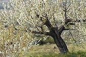 Cherry Blossom Valley Jerte Estremadura Spain