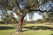Cork oak in dehesa PN Monfragüe Spain