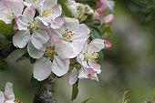 Apple Blossom Alsace France