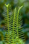 Fertile fronds of Deer fern in spike Spain ; They have a long petiole and leaflets very narrow, separated from each other