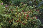 Marvel-of-Peru in bloom in a garden