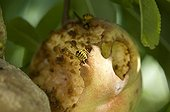 Wasp eating a peach in a garden