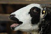 Domestic goat (Capra hircus hircus)