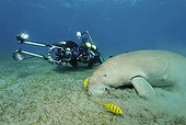 Dugong (Dugong dugon) and two Golden Trevally fish (Gnathanodon speciosus), Shaab Marsa Alam, Red Sea, Egypt, Africa
