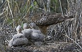 Female Northern harrier in nest with chicks Liminka