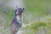 Marmot Alpine supervisor in the grass Alps France