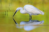 Egret and reflection area's natural Allan France