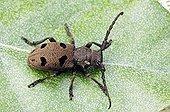 Morimus funereus Beetle, Provence, South France, Europe