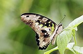 Green-spotted Triangle, Tailed Jay (Graphium agamemnon)