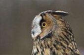 Long-eared Owl (Asio otus), portrait