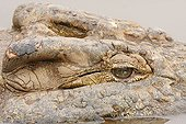 Regard de Crocodile du Nil à la surface PN Kruger