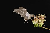 Lesser Long-nosed Bat (Leptonycteris curasoae), adult in flight at night feeding on and pollinating Agave blossom (Agave sp.), Sonoran Desert, Tucson, Arizona, USA