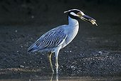Yellow-crowned Night-Heron (Nyctanassa violacea), adult with crab prey, Ding Darling National Wildlife Refuge, Sanibel Island, Florida, USA