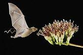 Lesser Long-nosed Bat (Leptonycteris curasoae), adult in flight at night feeding on Agave blossom (Agave sp.), Tucson, Arizona, USA