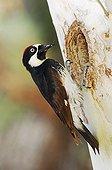 Acorn Woodpecker (Melanerpes formicivorus), male at nesting cavity in sycamore tree, Madera Canyon, Tucson, Arizona, USA