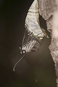 Graphium agamemnon climbs from the butterfly doll
