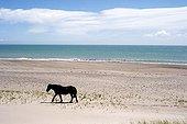 Horse walking on the beach Goulet St. Pierre et Miquelon