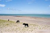 Horses walking on the beach Goulet St. Pierre et Miquelon