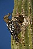 Gila peaks in the nest in a Saguaro Sonoran Desert USA