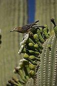 Gila peaks on a Saguaro flower Sonoran Desert USA