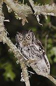 Eastern Screech-Owl (Megascops asio) (Otus asio), adult at night in Texas Oak (Quercus buckleyi), Uvalde County, Hill Country, Texas, USA