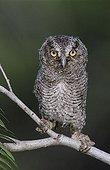 Eastern Screech-Owl (Megascops asio) (Otus asio), young owlet fledgling, Willacy County, Rio Grande Valley, Texas, USA