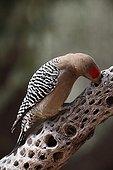 Gila Woodpecker on dead Cholla Cactus Arizona Sonoran Desert