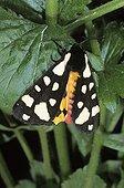 Cream-spot Tiger (Arctia villica)