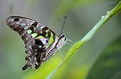 Tailed Jay (Graphium agamemnon) on a grass stalk