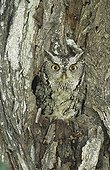 Eastern Screech-Owl (Megascops asio), adult in hole in mesquite tree camouflaged, Willacy County, Rio Grande Valley, Texas, USA