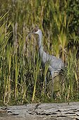 Sandhill crane on bank Vancouver Canada
