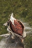 Graines d'Asclépiade commune dans cosse Vermont USA ; Plante hôte du papillon Monarque