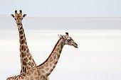 Giraffes at waterhole Etosha NP Namibia