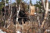 Elan dans la forêt pendant la période du rut PN de Gaspésie