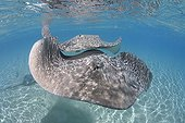 Couple of Pink whipray swimming Tahaa