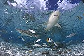 Blacktip Reef Shark swimming to the surface Tahaa Polynesia