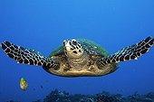 Hawksbill Turtle in Tahiti in Polynesia