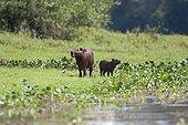 Palm tanager and Capybaras in wetlands Pantanal Brazil