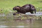 Capybara female and young in the Pantanal marsh Brazil