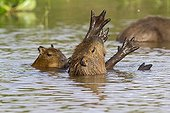 Capybara female and young in the Pantanal river Brazil