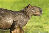 Capybara female and young in the Pantanal bank Brazil